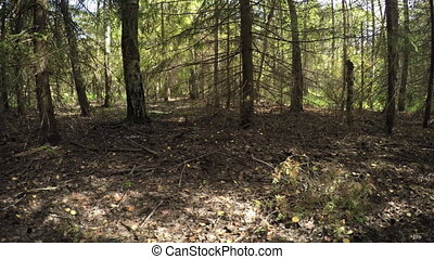 Pine Trees in a Temperate Forest with Sound - Pine trees and...