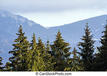 Pine trees in mountain forest