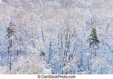 pine trees in snow forest in winter