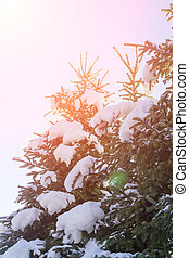 Pine trees in snow lit by the rays of the rising sun