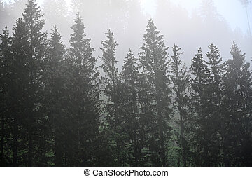 Pine trees in the fog landscape