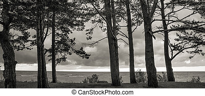 Pine trees in the forest