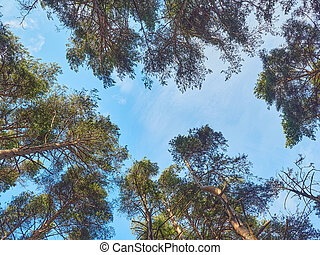 pine trees in the park. Spring