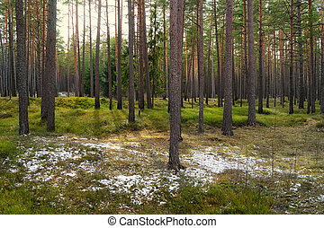Pine trees in the park with green grass and islands of snow in e