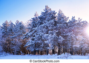 Pine trees in the snow on a frosty winter day