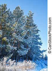 Pine trees in the snow on frosty winter day