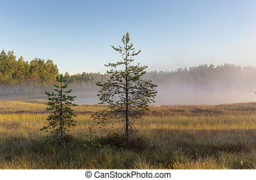 pine trees in the swamp