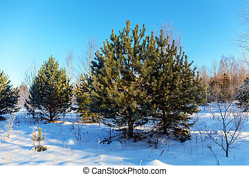 pine trees in the winter forest