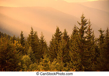 Pine trees in warm sun light and misty hills