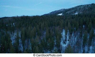 Pine trees in winter. Aerial shot