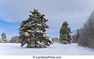 Pine-trees in winter