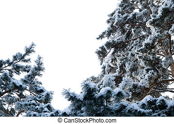 Pine trees in winter on a background of the sky