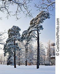 Pine trees in winter park