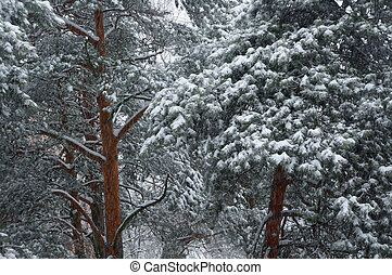 Pine trees in winter.