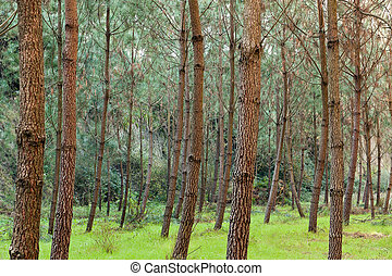 Pine Trees on Greeny Grass