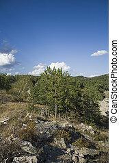 Pine trees on mountain