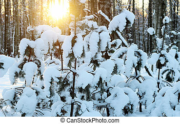 Pine trees on sunset