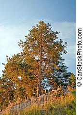 Pine-trees on sunset ligth
