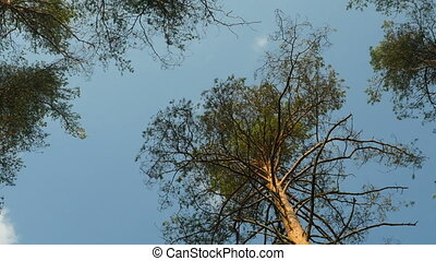 pine trees overhead zoom out