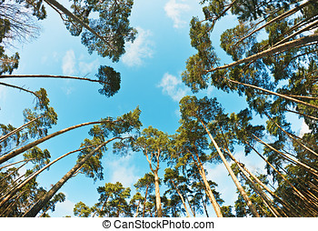 pine trees photographed on a fisheye lens