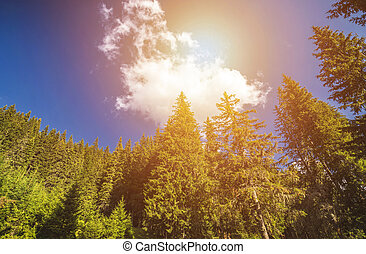 Pine trees seen from below against the sun and blue sky