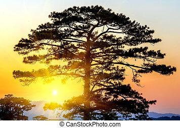 Pine Trees silhouettes Sunrise