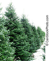 pine trees - a row of pine trees