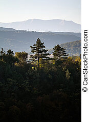 Pine trees wit mountain in the background at sunrise. Early morning shot of mountain trees back lit by warm sun light
