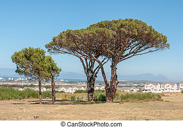 Pine trees with Table Mountain in Cape Town in the background