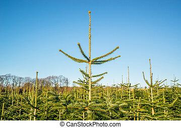 Pine treetops at a plantation