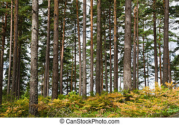 Pine trunks and golden bracken