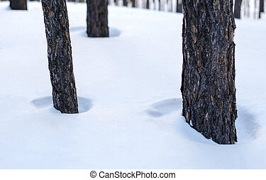 Pine trunks in winter forest walking in deep snow