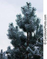 Pine under a snow