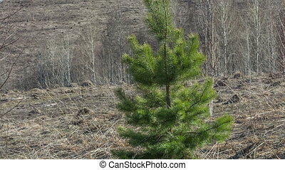 Pine - Young pine in early spring
