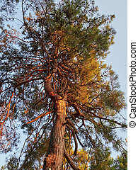 Pine with a curved trunk in the rays of sunset.