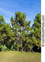 Pine with blue sky