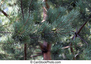 Pine with green cones - Forest background with some pine...