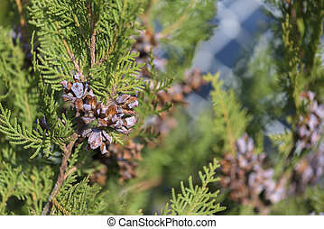 Pine with Pine cone background