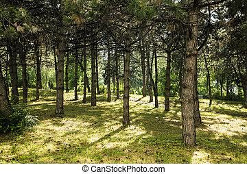 Pine wood. Green park