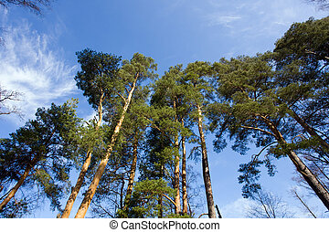 Pine wood in sunny spring day