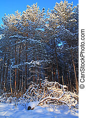 pine wood in winter snow