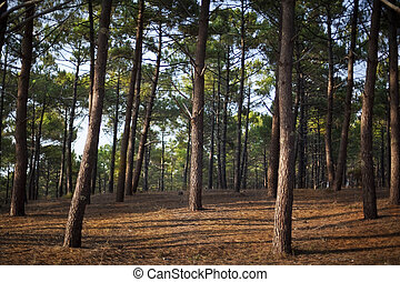 Pine wood landscape - Pine wood trees in a forest near...