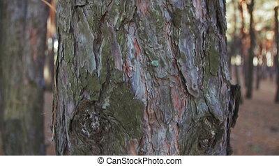 Pine Wood Pillar in the Movement Around - Pine wood pillar...