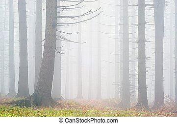 Pine - wood - Pine - wood with fog in backcloth.