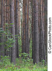 Pine wood. - Summer pine wood.