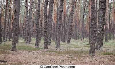 Pine woods grove in the forest