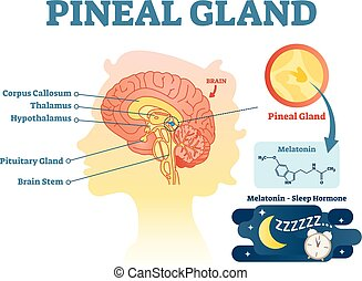 Pineal gland anatomical cross section vector illustration diagram with human brains.