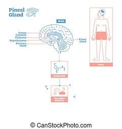 pineal, vetenskap, körtel, illustration, endokrin, system., ...