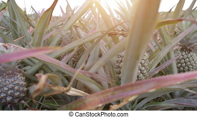 pineapple field on tropical island