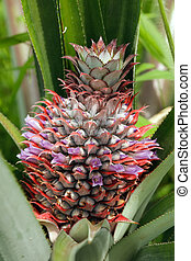 pineapple fruit and flower